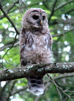 owl getting his bars, barred owl photo, barred owl, barred owl photograph, barred owl perching