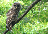 owl amidst leaves, barred owl photo, barred owl photograph