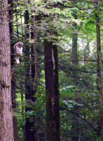 owl-in-forest, barred owl trees, barred owl photo,