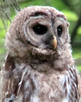owl-nearby, owl close up, barred owl photo, barred owl photograph