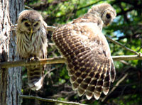 two owls, owl photo, barred owl photo, owl picture, barred owl picture, two barred owls