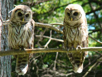 owl siblings, two owls, two barred owls, barred owls photo, barred owls photograph