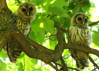 owls in the summer, barred owls, two barred owls, barred owls photo
