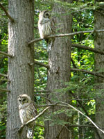 two owls, owls in forest, owls photo