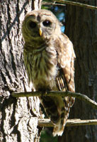 owl regal, barred owl perching, barred owl photo, barred owl photograph, owl photo